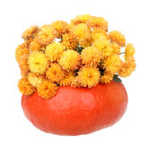 Autumn Mums Isolated Stock Photo