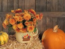 Autumn Mums in a Pot Stock Image