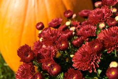 Autumn Mums With Pumpkin Stock Image