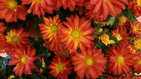 Autumn mums Royalty Free Stock Photo