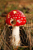 Autumn mushroom Royalty Free Stock Photos