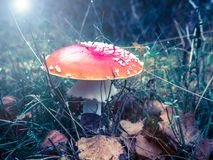 Autumn mushroom Royalty Free Stock Images