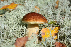 Autumn mushroom Royalty Free Stock Image