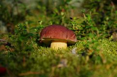 Autumn mushroom in the forest ( boletus) Stock Photos