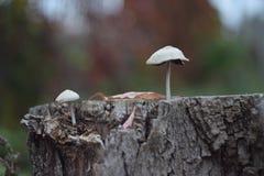 Autumn mushroom  Stock Photography