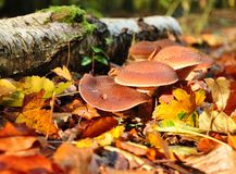 Autumn mushrooms Royalty Free Stock Photos