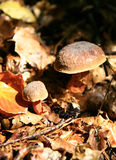 Autumn... mushrooms Royalty Free Stock Image