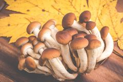Autumn mushrooms - agrocybe aegerita royalty free stock images