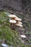 Autumn mushrooms (Armillariella mellea) in the forest Stock Photos