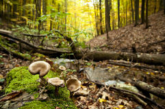 Autumn mushrooms in the forest. Royalty Free Stock Photography