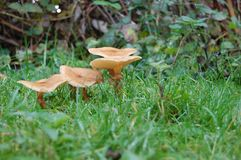 Autumn mushrooms in grass Stock Images