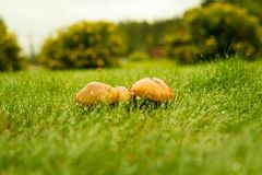 Autumn mushrooms on grass rain drops stock photos