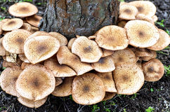 Autumn mushrooms Royalty Free Stock Photo