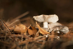 Autumn mushrooms Royalty Free Stock Photo