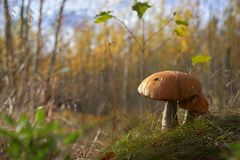 Autumn mushrooms take sun bath Stock Image