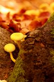 Autumn mushrooms- Vibrant fall Colors in forest Stock Photography