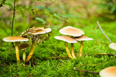 Autumn mushrooms in the woods Royalty Free Stock Photography