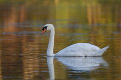 Autumn Mute Swan images libres de droits