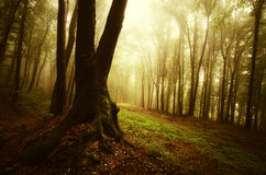 Autumn in a mysterious forest with fog stock photo
