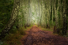 Autumn mystic birch alley Royalty Free Stock Image
