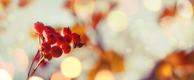 Autumn natural background with orange berries and blue sky, fall landscape, vintage filter, banner, place for text. Autumn natural background with orange berries royalty free stock image