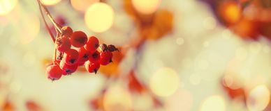 Autumn natural background with orange berries and blue sky, fall landscape, vintage filter, banner, place for text. Autumn natural background with orange berries stock images