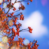 Autumn natural background with orange berries and blue sky, fall landscape, vintage filter, place for text. Autumn natural background with orange berries and stock photo