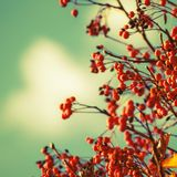 Autumn natural background with orange berries and blue sky, fall landscape, vintage filter, place for text. Autumn natural background with orange berries and stock image