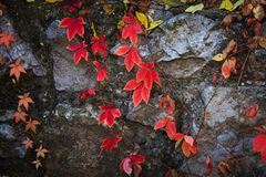 Autumn natural background red clamberer leaves on rock stock photography