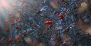 Autumn natural background with wild plants in blue toning colors with orange dog rose berries and lush foliage, fall landscape. Autumn natural background with royalty free stock photography