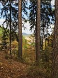 Autumn natural fir forest in Rheinland Pfalz. Autumn natural fir forest in Rheinland-Pfalz region Stock Image
