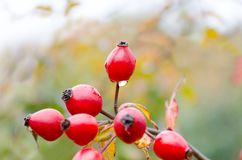 Autumn natural harvest - red ripe briar on bush, water drops at berries. Empty place for copy space stock images