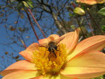 The autumn nature. Bee behind work. The autumn nature. Close-up Stock Photos