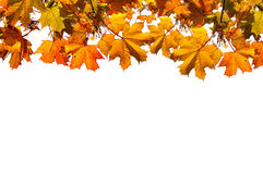 Autumn nature background with free space for text -colorful orange autumn maple leaves isolated on the white background. Stock Images