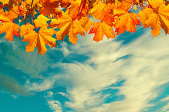 Autumn nature background with space for text - orange autumn maple leaves against sunset sky. Vintage filter applied Stock Photography