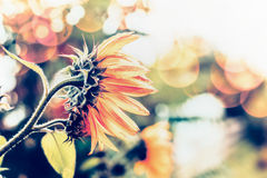 Autumn nature background with sunflowers and bokeh Royalty Free Stock Photos