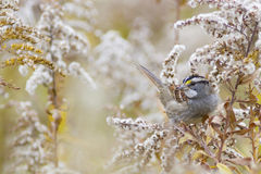Autumn nature background - White-throated sparrow bird Royalty Free Stock Image