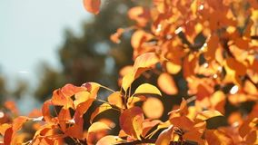 Autumn nature beauty golden tree leaves sunny day. Autumn nature beauty. Golden tree leaves. Peaceful sunny day stock footage