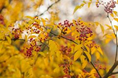 Autumn nature with berries and yellow leaves. Branches of a bush tree with vibrant yellow leaves and red berries. Autumn nature in the forest. Blurred background stock images
