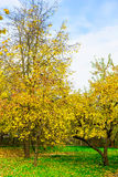 Autumn Nature of Branchy Yellow Trees Stock Photography