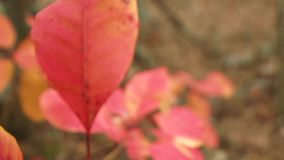 Autumn Nature. Change the focus from the background to the foreground. Close up stock video