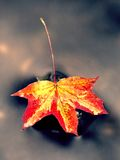 Autumn nature. Detail of rotten orange red  maple leaf. Fall leaf on stone Royalty Free Stock Images