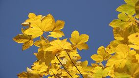 Autumn nature detail, yellow leaves against blue sky. UHD 4K stock video