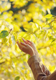 Autumn, nature, ecology and people - concept. Sensual female hands touch yellow foliage tree Royalty Free Stock Photography