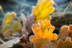 October frosty weather. Autumn nature. Foliage with frost close-up. October frosty weather. Autumn details. Fallen oak leaves stock photo