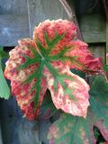 Autumn, Nature, Grape Leaf, Garden Stock Photos