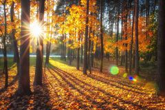 Autumn nature landscape with bright sunbeams. Colored trees in sunlight in forest. Autumn forest. Fall nature. Autumn picturesque background. Warm day outdoors stock photos