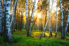 Autumn nature landscape. Autumn forest. Birch trees in sunlight. Sunny evening in birch forest royalty free stock photography
