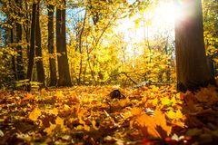 Autumn nature landscape outdoor. Autumn nature landscape outdoor background. Fallen leaves in the park in the background of sunlight Royalty Free Stock Photography