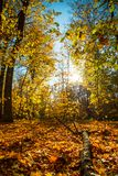 Autumn nature landscape outdoor. Autumn nature landscape outdoor forest. Fallen leaves in the park in the background of sunlight. Vertical Stock Images